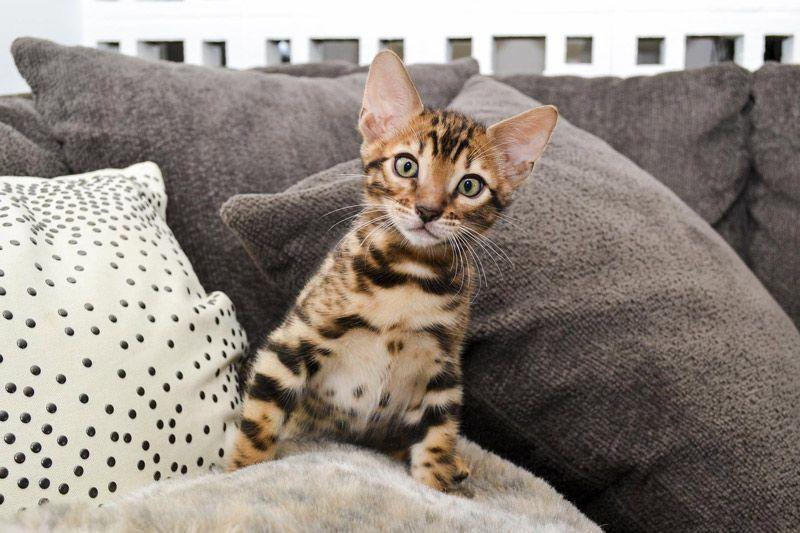 Котенок Бенгала