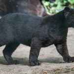 Малыш Черного ягуара