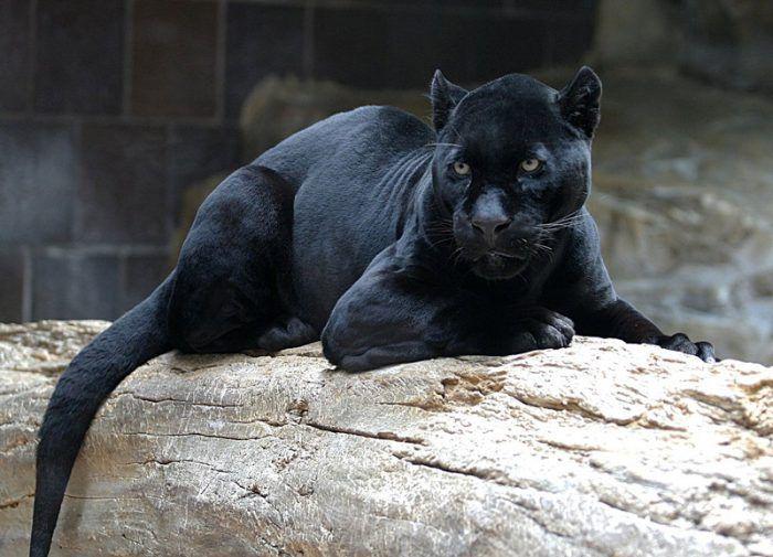 Черный ягуар на бревне