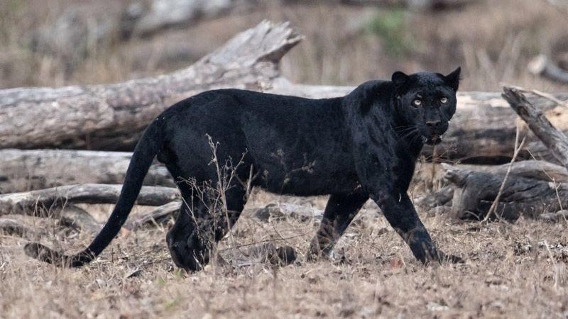 Черный Ягуар в естественной среде