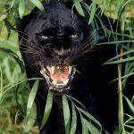 Черный Ягуар злится