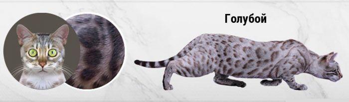 Голубой окрас у кошки