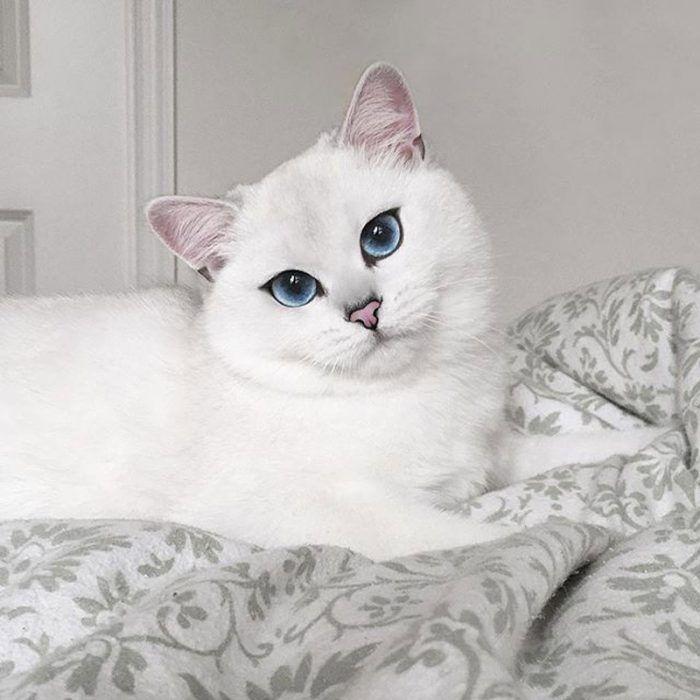 Глаза British Blue