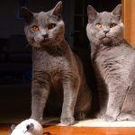 Два британских кота