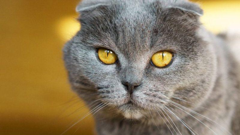 Строгая кошка