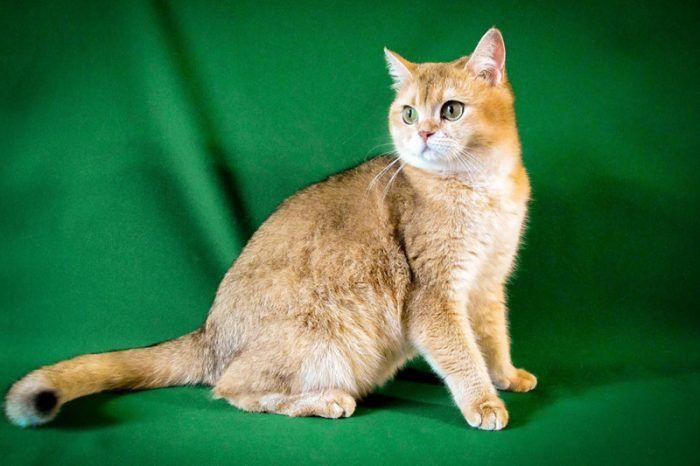 Рыже-золотая кошка