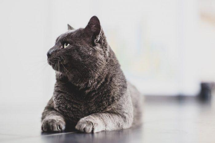 Величественный кот