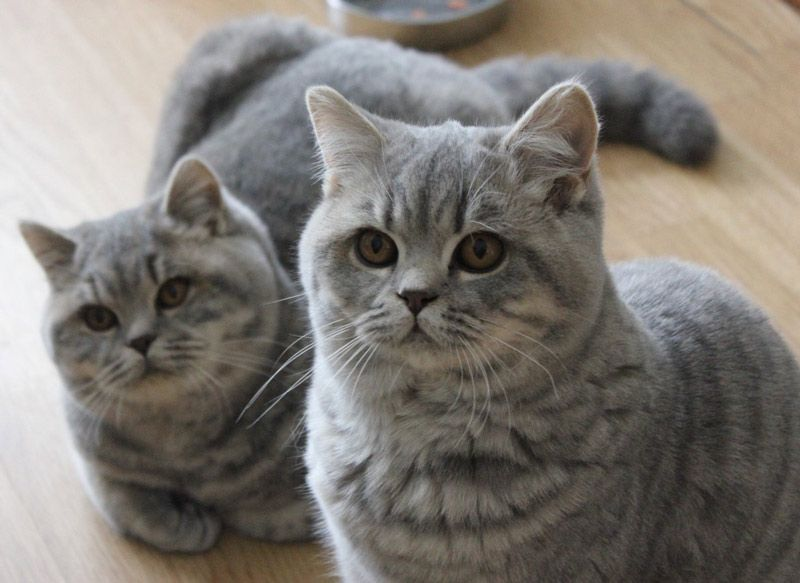 Красивые британские коты