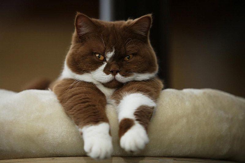 Красивая окраса у британской кошки