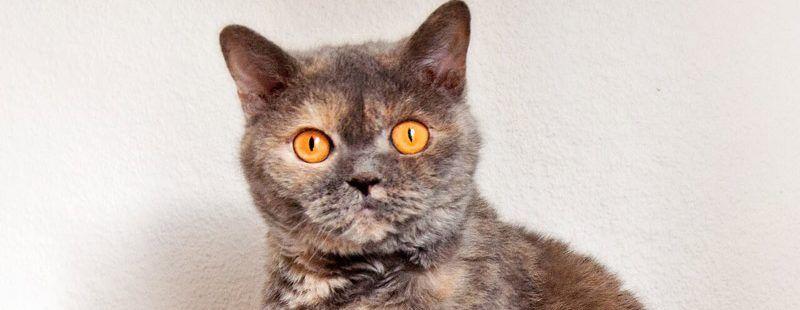 Красивый кот черепахового окраса