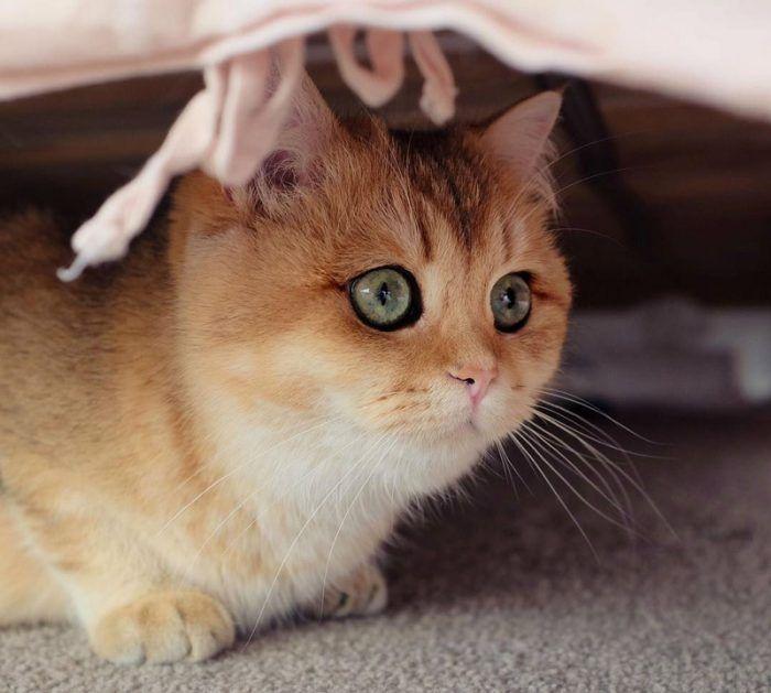 Золотистый кот