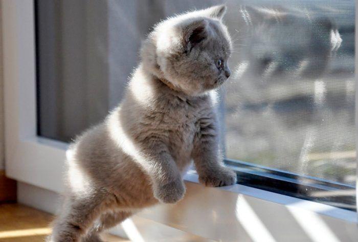 Малыш британской кошки