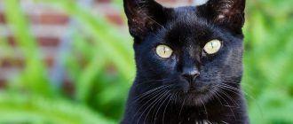 Черный кот с белым пятном