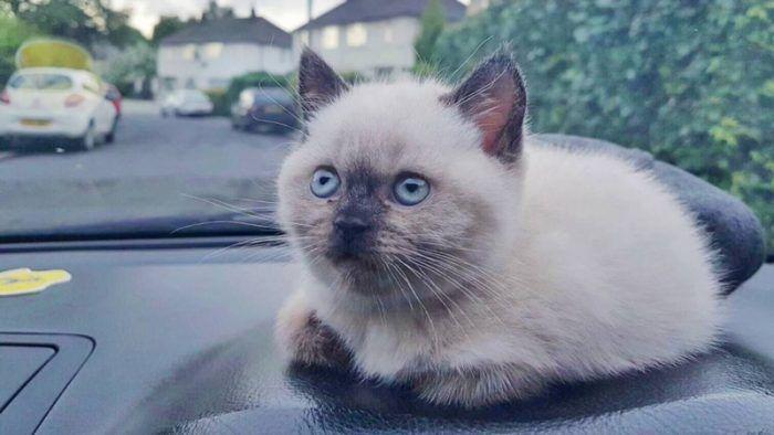 Колор-пойнтовая Британская кошка