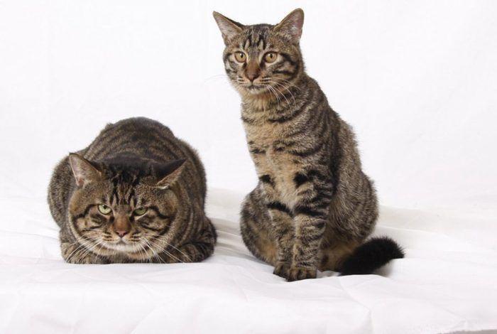 Два кота породы Ли Хуа