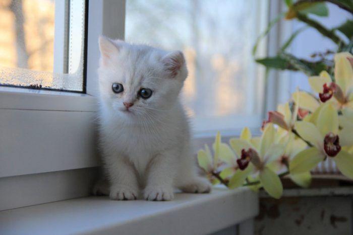 Белый с зелеными глазами