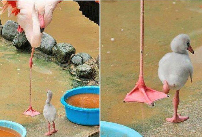 детеныш фламинго
