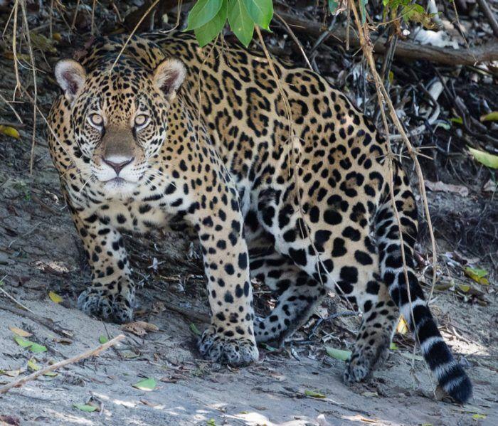 Ягуар перед охотой
