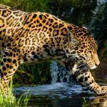 Ягуар в природных условиях