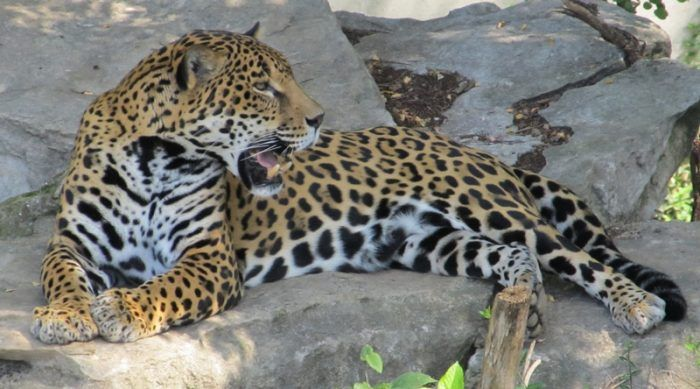 Ягуар на камне