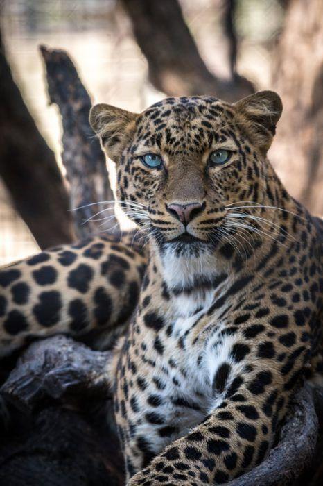 Голубые глаза у Ягуара