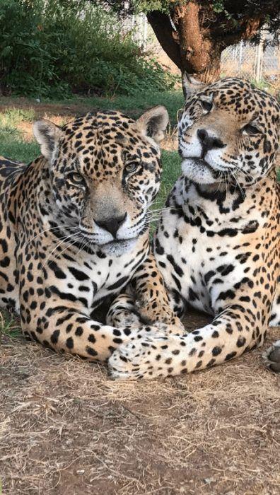 Два красивых ягуара