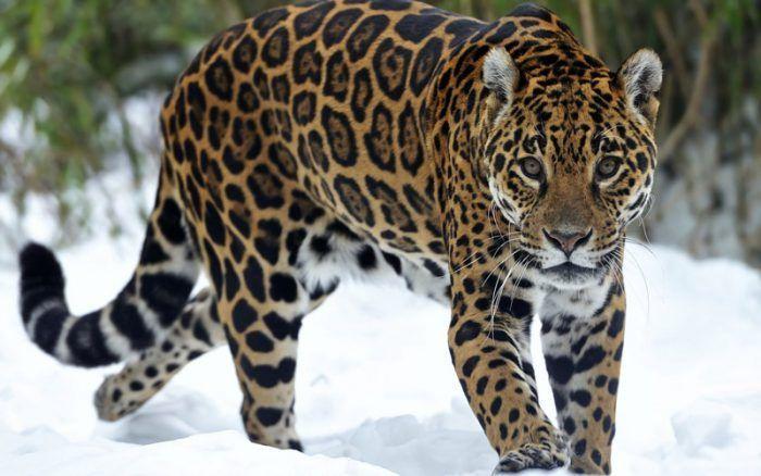 Ягуар в снегу