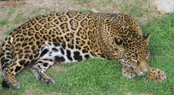 Ягуар лежит на траве