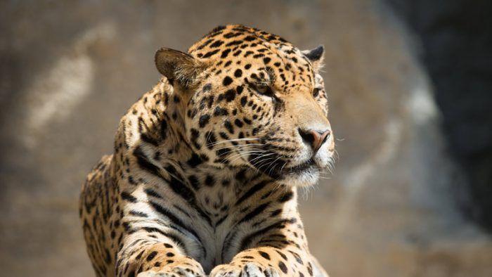Ягуар ждет добычу