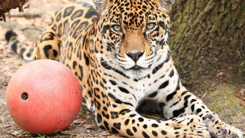 Ягуар и его мяч