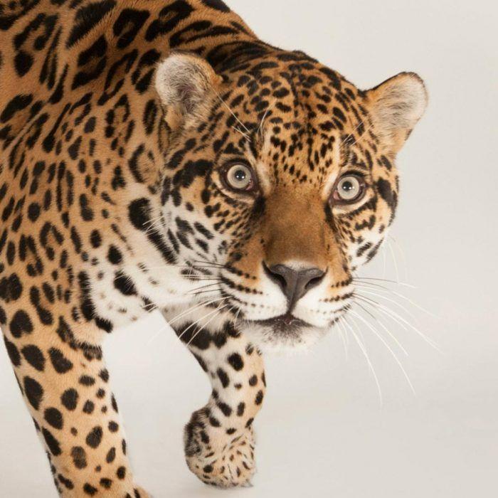 Любопытный ягуар