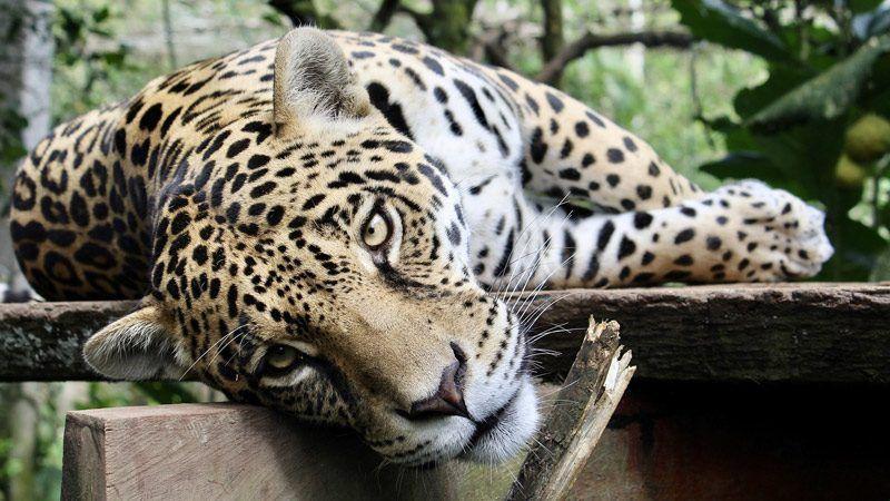 Ягуар хочет ласки