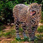Ягуар громко рычит