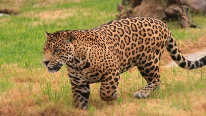 Ягуар в поле