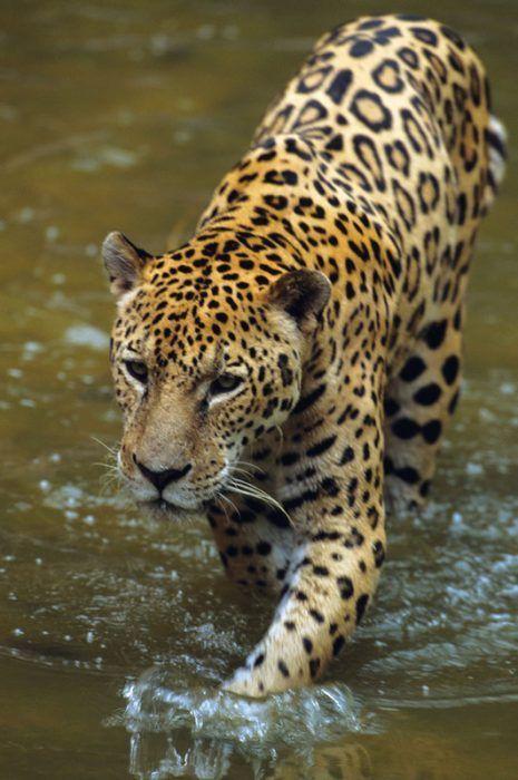 Ягуар в воде