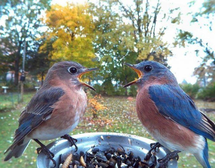 Птицы с синий оперением