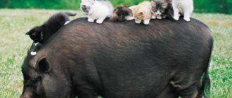 Котята и свин