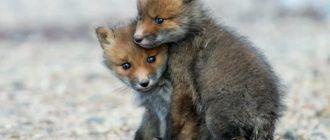 Две лисички