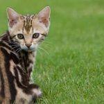 Мраморный кот на природе