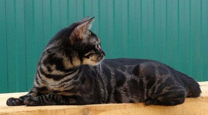 Темный окрас у Бенгальского кота
