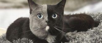 Кошка химера