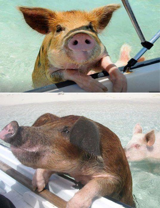 Просящие свинки