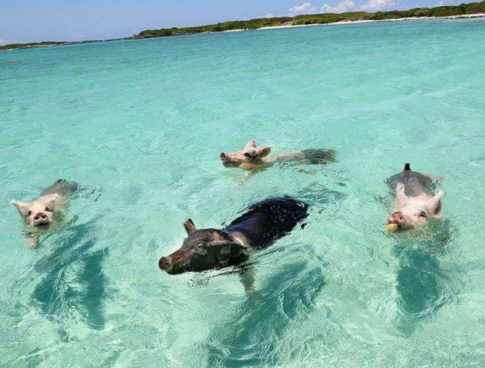 Водоплавающие свинки