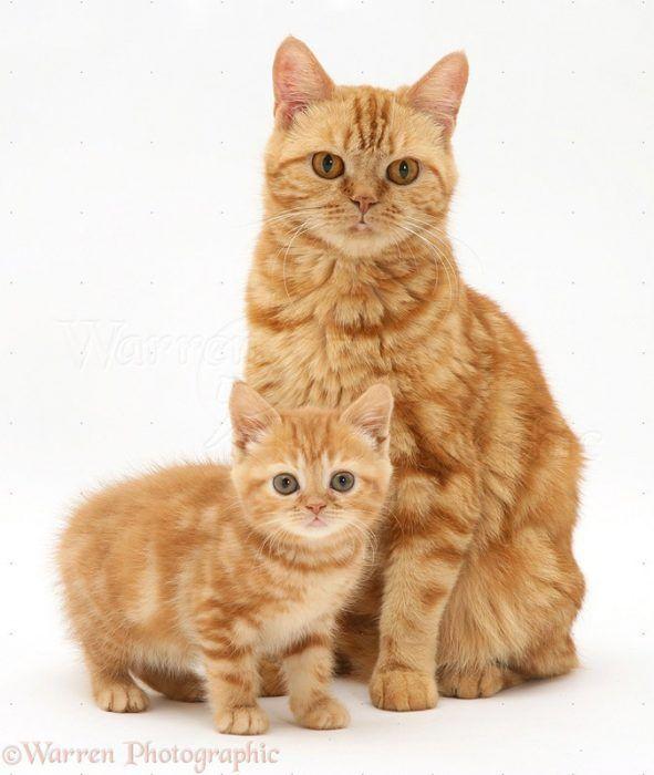 Красная Британка и ее котенок