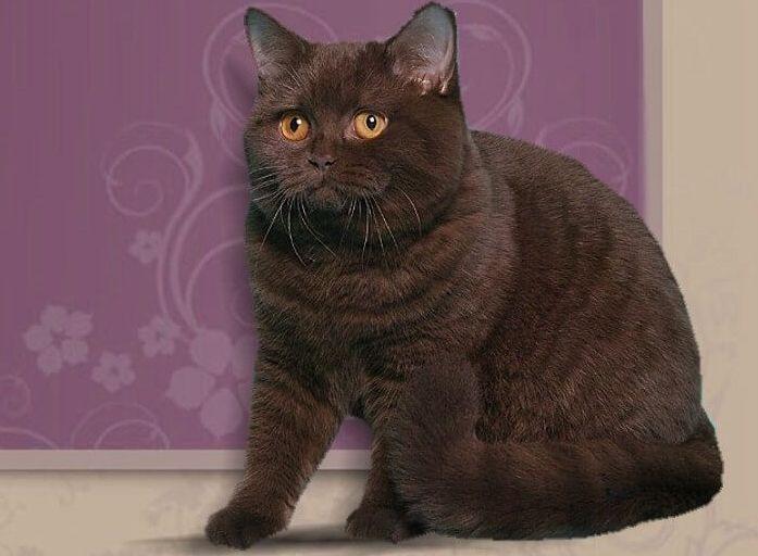 Окрас Шоколад у кота