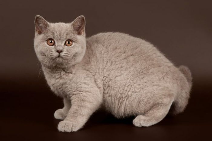 Сиреневый окрас у кошки