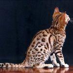 Котенок окраса Spotted Rosetted