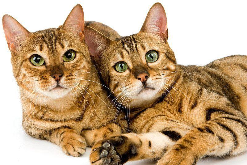 Два кота Spotted Tabby