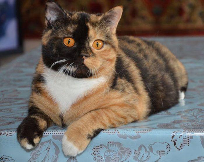 Рыжие глазки у черепахового кота