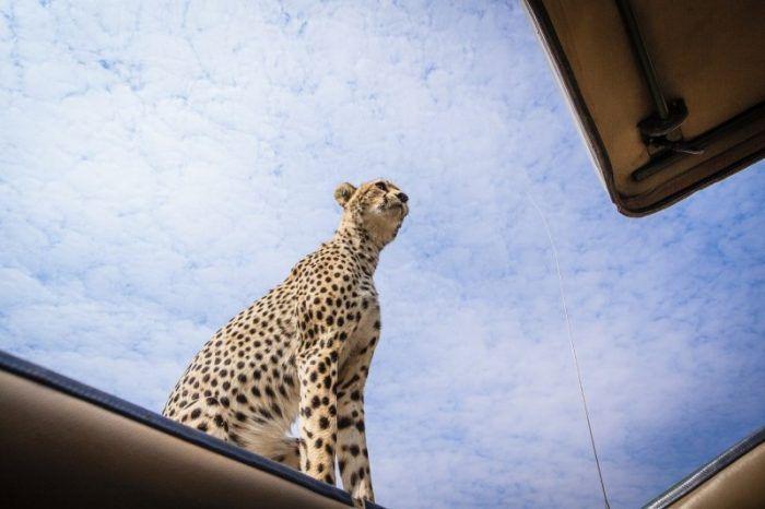 Гепард на машине